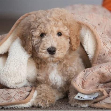 free puppies in arkansas labradoodle breeders in arkansas freedoglistings