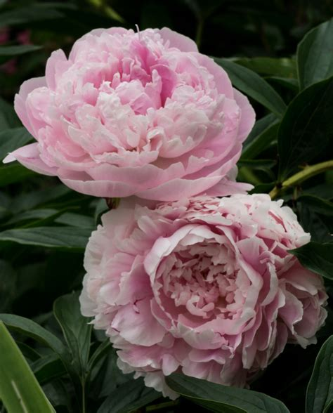 pink peonies blog peonies beautiful flower pictures blog