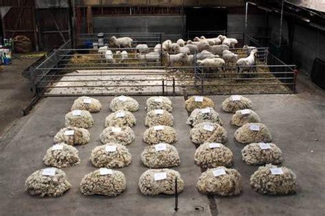 Bibit Kambing Merino peternakan kambing dan domba domba merino