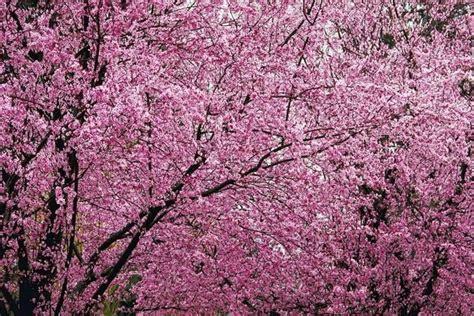 flowering plum tree pruning