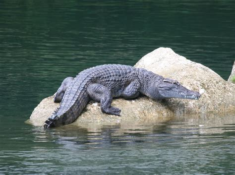 Japit Buaya Kecil Jepitan Crocodile Kecil buaya hijauku bumiku