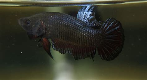 Ikan Cupang Fighter ikan cupang adu import bagan the finest indo betta fighters