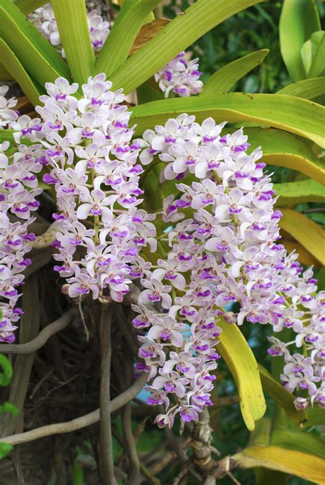 Orchid Plant by Foxtail Orchid Care Learn How To Grow Rhynchostylis