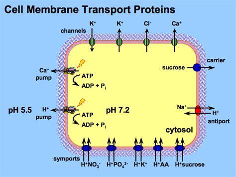 membrane transport proteins biological pump membrane