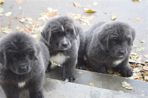 newfoundland puppies colorado newfies reputable newfoundland breeder in colorado with newfoundland puppies