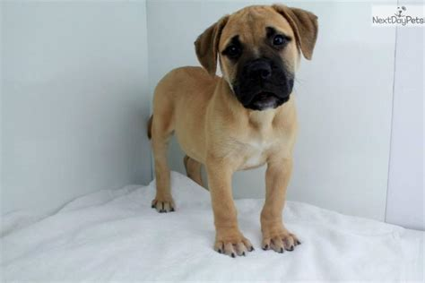 bullmastiff puppies price bullmastiff puppy for sale near san diego california e084a235 b711