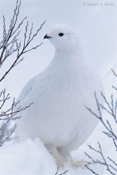arctic ptarmigan