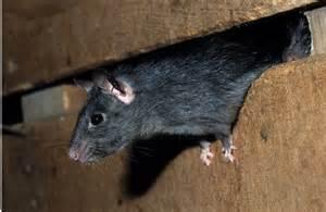 comment se d 233 barrasser des rats et souris dkm experts