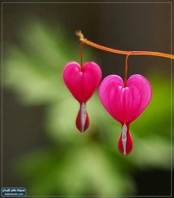 Bleeding Heart Flower One For All Bleeding Flower Meaning