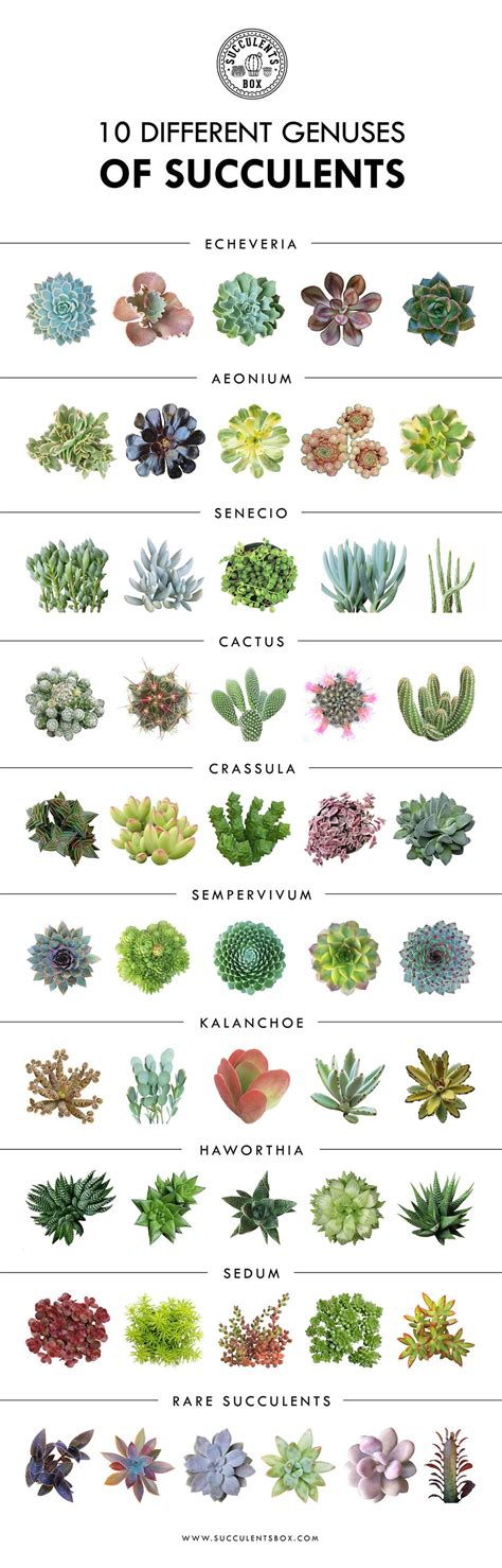 genuses  succulents