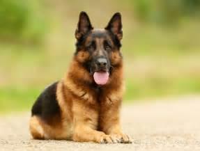 le berger 1 le berger allemand les 10 races de chiens pr 233 f 233 r 233 es