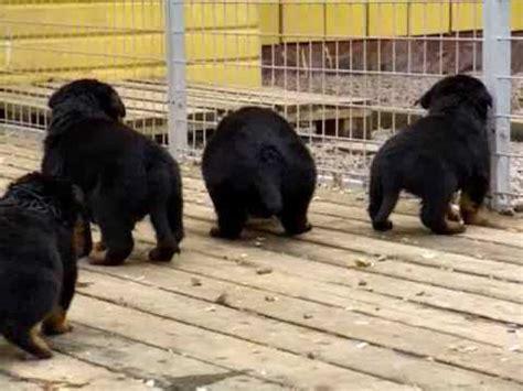 rottweiler puppies 1 week cutest rottweiler puppies rottweilervideos