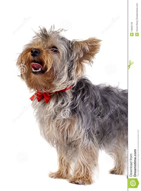 yorkie panting terrier panting royalty free stock photos image 14622178