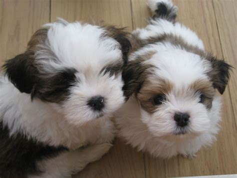 lhasa apso puppies for sale adorable lhasa apso puppies consett county durham pets4homes