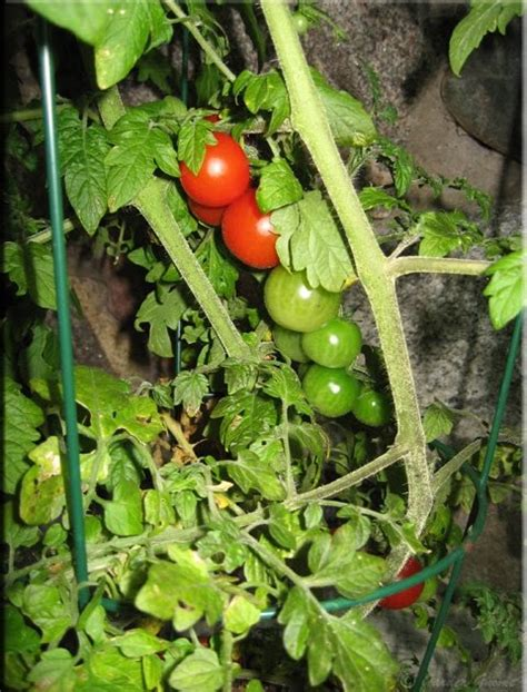 tomato container garden garden gnome wanderings sweet million tomatoes container