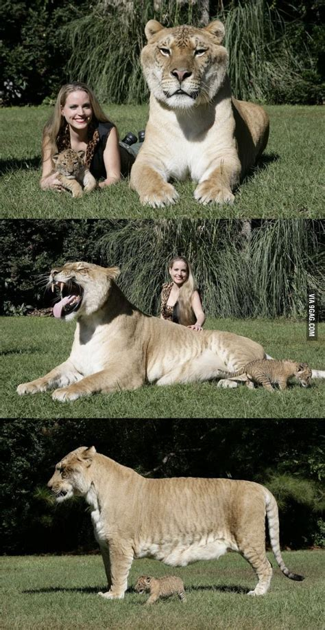 worlds largest liger animals beautiful animals unusual animals