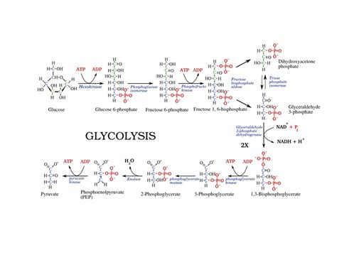 diagram of glycolysis printable glycolysis diagrams hd diagram site
