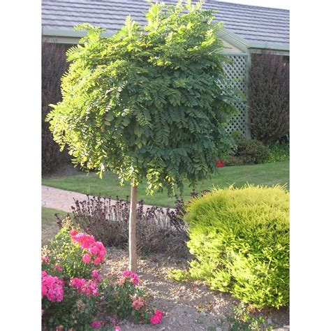 plant robinia moptop std 60cm bunnings warehouse