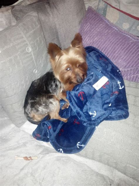 Small Dogs Looking For New Home Beau The Yorkie Needs A New Home Dawg