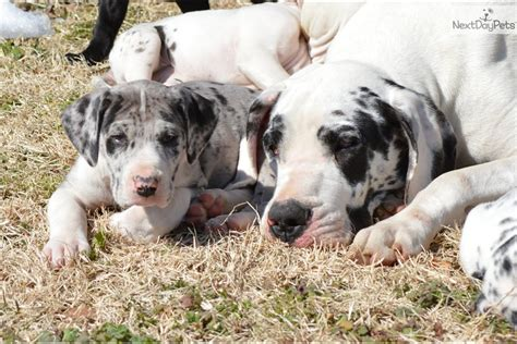 free great dane puppies meet a great dane puppy for sale for 1 100 akc great danes