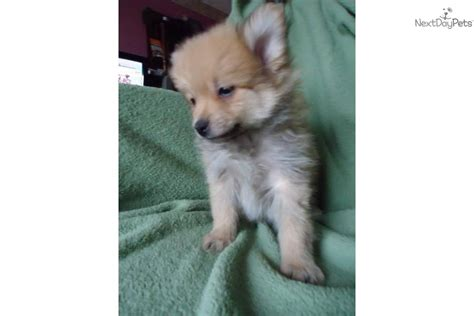 pomeranian for sale omaha pictures