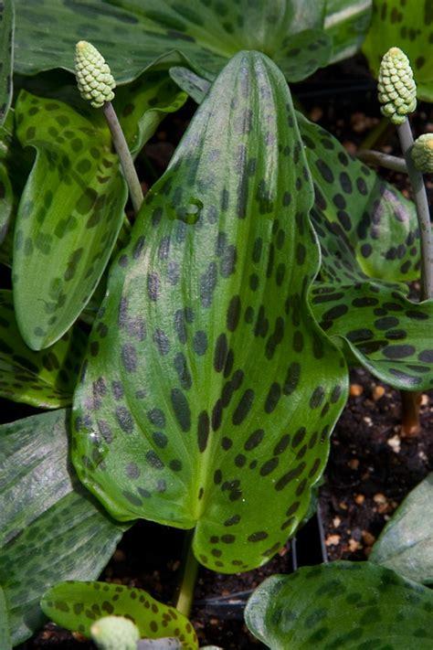 drimiopsis maculata slow fade