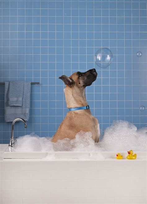 dogs and bathtubs bubble bath great dane home sweet home in the bathroom