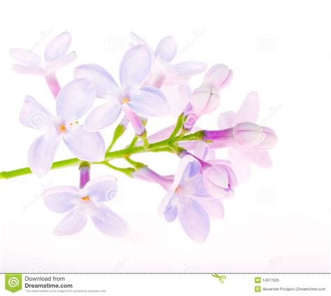 light blue lilac flowers on white royalty free stock photo
