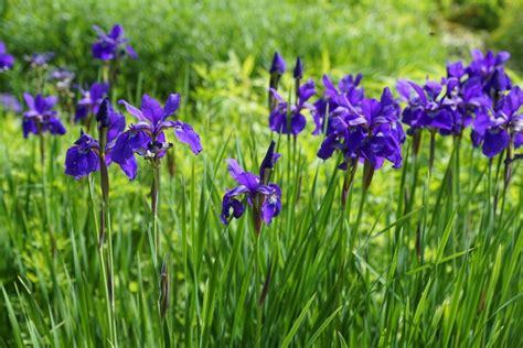 how to grow irises new england today