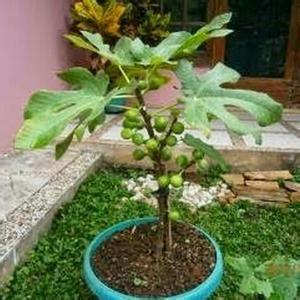 Bijibenihbibit Buah Naga Mix 1 biji benih bonsai buah durian berisi 2 butir page 2 search cheapest prices