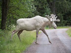the white moose mystery catches a brief glimpse of