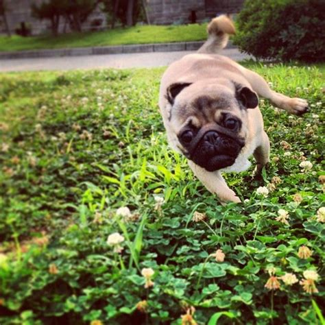 pug cannon 17 best images about pugs on posts puppys and pug