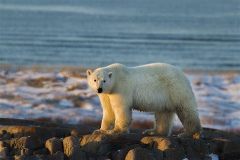 churchill update churchill polar bears