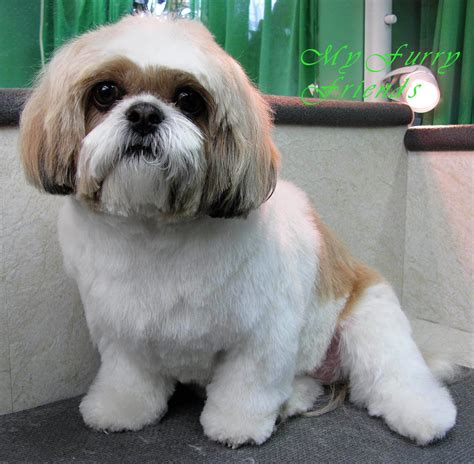 shih tzu puppy grooming popular shih tzu cuts hairstylegalleries
