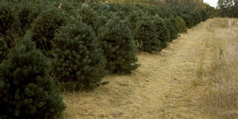 gallery of christmas tree farms ontario fabulous homes
