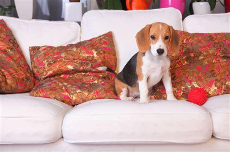 beagle in der wohnung hunde und katzen in der wohnung halten wohnungs