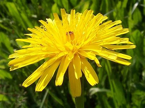 fiori dente di l energia curativa dei fiori quot dente di con l