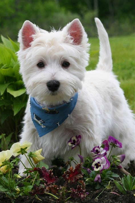 westie puppies 5 most facts about westie puppies exclusive pouted magazine