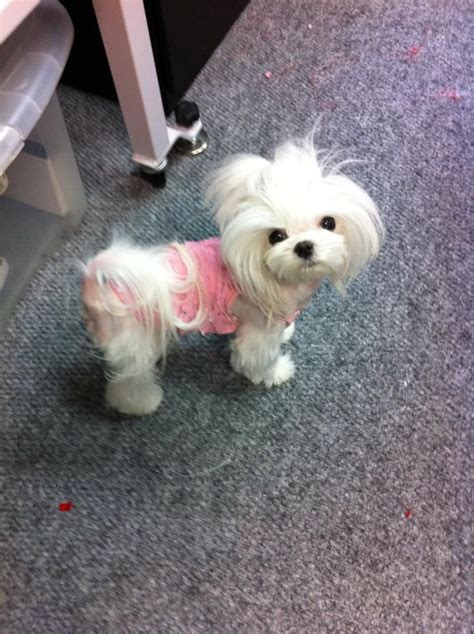 what is the best cut for a malti poo 189 best images about maltese cuts on pinterest japanese