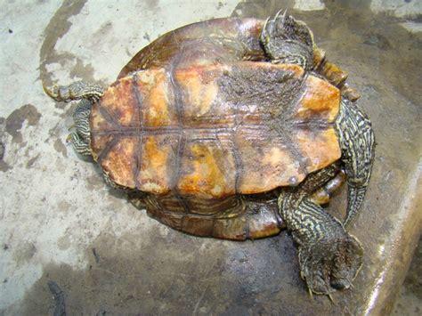 louisiana map turtle false map turtle hibians and reptiles of louisiana