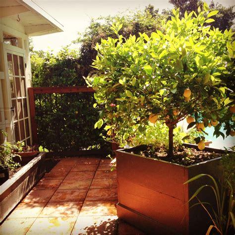 patio lemon trees sale 28 images patio citrus for