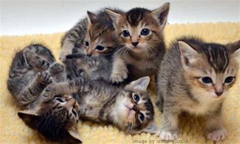 Kucing Bayi Merawat Bayi Kucing Bintang Sekolah Indonesia