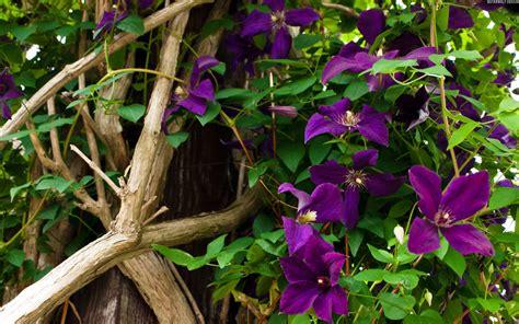 top 28 vine plants with purple flowers purple vine flower by debra vatalaro purple flowers