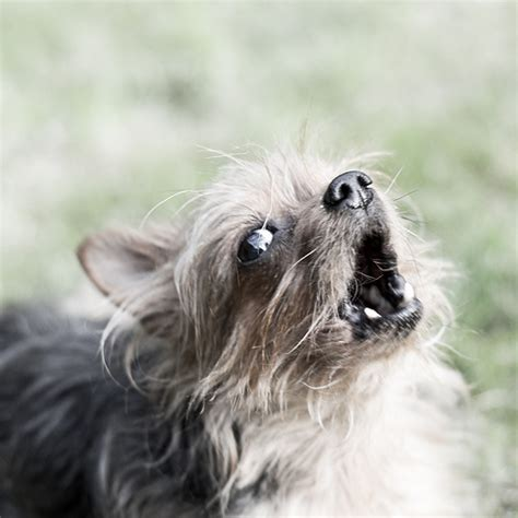 how to a yorkie not to bark yorkie barking is your terrier barking breeds picture