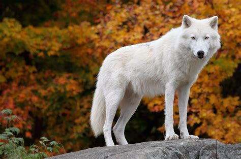 On Wolf wolf facts history useful information and amazing pictures