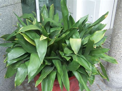 pianta da interno poca luce piante da appartamento con poca luce piante da interno