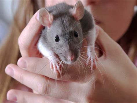 Easy To Make Home Decor by Pet Care Guide Rats
