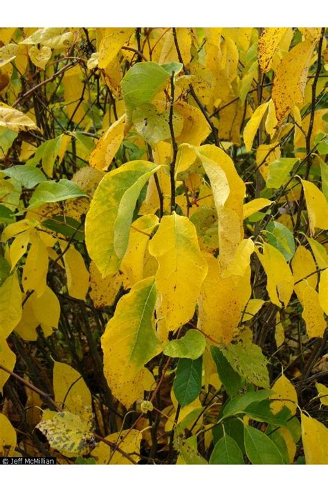 L Use An Blumen 4425 by Large Image For Lindera Benzoin Northern Spicebush