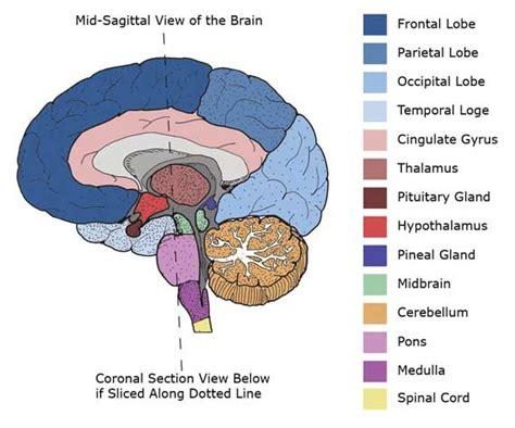sagittal cross section of brain mid sagittal cross section of brain florence nightingale