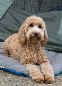 doodle haircuts dogs best 25 goldendoodle haircuts ideas only on